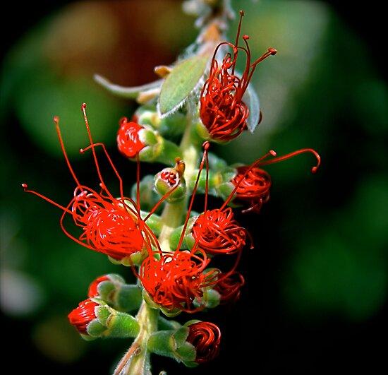 Emerging Bottle Brush Flower by Humminggirl
