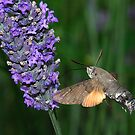 Humming Bird Hawk moth at Lavender by SWEEPER