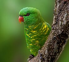 Scaly-breasted Lorikeet by Matt Duncan