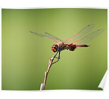 Common Glider Dragonfly Poster