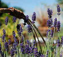 Lavender Dreams by Marjorie Wallace