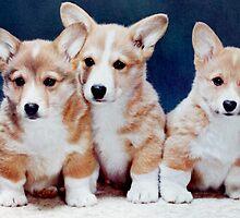 3 Corgi Puppies. by Edward Denyer