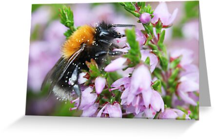 Bumble bee in Heather by Melinda Gaal