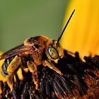 Long-Horned Bee by Dennis Stewart