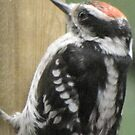 BabyDowny Woodpecker by maxy