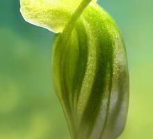 DWARF GREENHOOD ORCHID by SimoneYvette