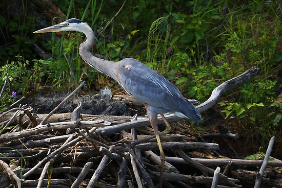 Great Blue Heron by Jane Best