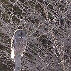 Great Grey Owl by cherylsnake