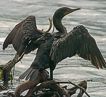 Eola Cormorant by Larry  Grayam