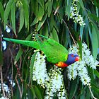 Rainbow Lorikeet by Coloursofnature