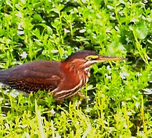 Green heron by ♥⊱ B. Randi Bailey