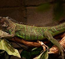 Green Iguana by Ben Hughes