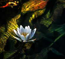 Okavango Lily by Sharon Bishop