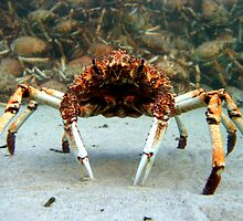 Spider Crab by SouthernMan