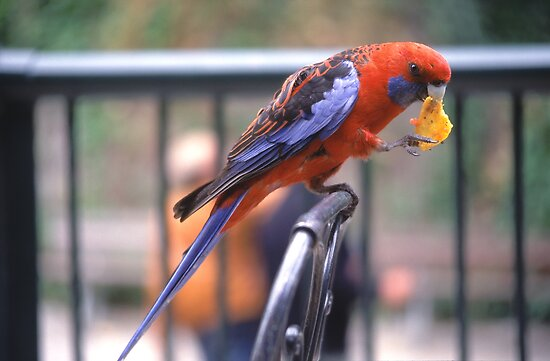 Crimson Rosellas prefer Oz-Mex cuisine! by Erik Schlogl
