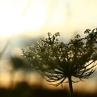 Queen Anne's Lace by ASHLEE  BUTLER