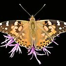 Painted Lady  by Brian Haslam
