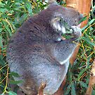 Koala by Clive