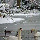 Swans swimming amid the ice and snow. by Littlest