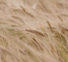 Barley by Michael Oubridge