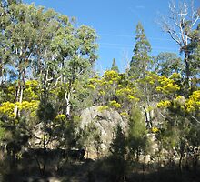 Wattle trees flowering at Girraween National Park, Qld. Australia by Marilyn Baldey