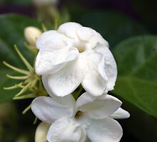 White Jasmin by Stormygirl