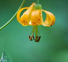 Wild Mountain Lily by Tori Snow