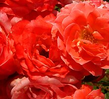 St. Louis Pink Roses by Rebecca Luering