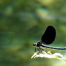 damselfly on a stig by viaterra-photos