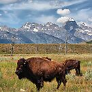 Buffalo and Grand Tetons by Teresa Zieba