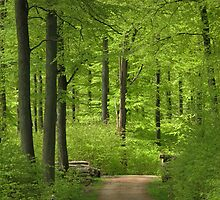 Beech wood in spring by Trine