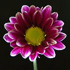 Chrysanthemum by rgstrachan