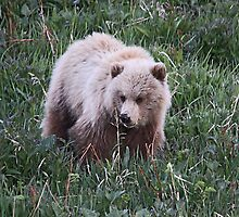 Grizzly  Bear Cub by Vickie Emms