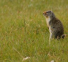 Columbian Ground Squirrel 2 by Rick Champlin