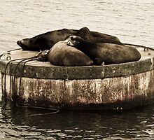 California Sea Lions- Puget Sound, Seattle, WA by taytehampton
