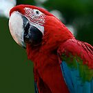 Macaw by taiche