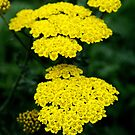 Yellow yarrow by kkphoto1