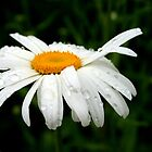 Rainy Day Daisy by kkphoto1
