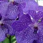 singapore orchids by Rebecca Conroy