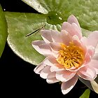 Water Lily V    /    by Shelley  Stockton Wynn
