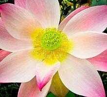 Water Lily VII    / by Shelley  Stockton Wynn