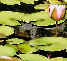 Water Lily Series I by Shelley  Stockton Wynn