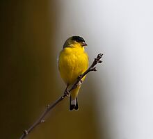 Lesser Goldfinch by Martin Smart