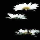 3 daisies II by Theodore Black