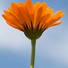 African Daisy by Julie McBrien