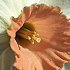 Pink Daffodil by Bev Pascoe