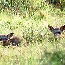 Bat-eared Fox - OTOCYON MEGALOTIS by Magaret Meintjes