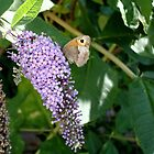 Butterfly on butterfly bush by NowhereMan