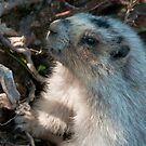 Killer Marmot by Kerri Gallagher