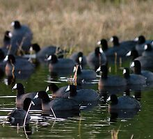 MIWR Coots by Larry  Grayam